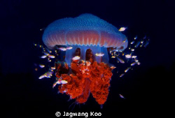 jelly fish by Jagwang Koo 